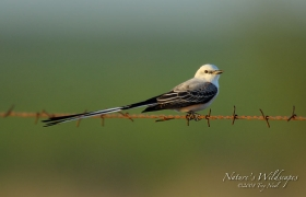 scissor-tail-flycatcher;bird;flycatcher