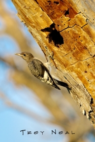 clinging;bird;red-headed-woodpecker