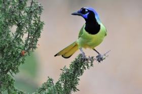 green-jay;bird;day;landscape;Outdoor